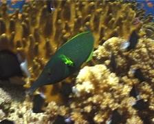Bird wrasse swimming, Gomphosus varius, UP9921 Stock Footage