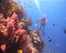 Ocean scenery photographer shooting anthias as they swim out from the wall, on Stock Footage