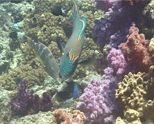 Bicolor parrotfish feeding, Cetoscarus bicolor, UP9924 Stock Footage