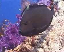 Yellow-mask surgeonfish swimming, Acanthurus mata, UP9938 Stock Footage