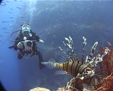 Videographer taking images on shallow coral reef with Common lionfish in Fiji Stock Footage