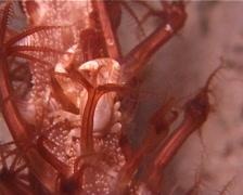 Sea pen crab at night, Porcellanella triloba, UP9954 Stock Footage