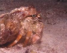 Banded eyestalk hermit crab feeding at night, Dardanus pedunculatus, UP9964 Stock Footage
