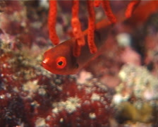 Juvenile Exquisite wrasse hovering, Cirrhilabrus exquisitus, UP9987 Stock Footage