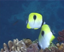 Teardrop butterflyfish feeding, Chaetodon unimaculatus, UP10004 Stock Footage
