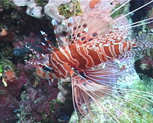 Ragged-fin lionfish, Pterois antennata, UP10023 Stock Footage