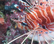 Ragged-fin lionfish, Pterois antennata, UP10022 Stock Footage