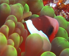 Fiji tomato clownfish hiding, Amphiprion barberi, UP10025 Stock Footage
