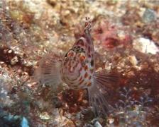 Pixy hawkfish, Cirrhitichthys oxycephalus, UP10026 Stock Footage