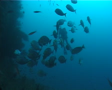 Videographer schooling on wall with Yellow-mask surgeonfish in Fiji Islands, Stock Footage