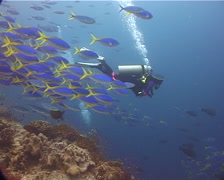 Colourful model scuba diver schooling on shallow coral reef with Scissortail Stock Footage