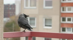 Jackdaw sits on the balcony railing. Stock Footage