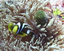 Orangefin anemonefish hiding, Amphiprion chrysopterus, UP10131 Stock Footage