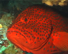 Coral cod hiding, Cephalopholis miniata, UP10137 Stock Footage