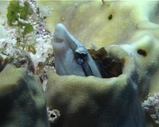 False cleanerfish hiding, Aspidontus taeniatus, UP10127 Stock Footage