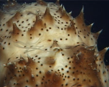 Black tentacle sea cucumber spawning on dead reef at dusk, Bohadschia graeffei, - stock footage
