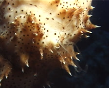 Black tentacle sea cucumber spawning at dusk, Bohadschia graeffei, UP10175 - stock footage