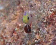 Fire dartfish hovering, Nemateleotris magnifica, UP10188 Stock Footage