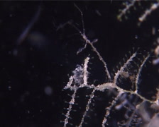 Stinging hydroids feeding at night, Cnidoscyphus sp. Video 10205. Stock Footage
