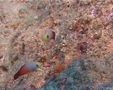 Adults and juveniles Fire dartfish hovering, Nemateleotris magnifica, UP10190 Stock Footage