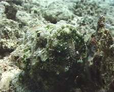 Flasher scorpionfish, Scorpaenopsis macrochir, UP10223 Stock Footage