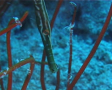 Juvenile Trumpetfish hiding, Aulostomus chinensis, UP10231 Stock Footage
