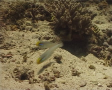 Blueband goby housekeeping on sand, Valenciennea strigata, UP10257 Stock Footage