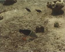 Clown coris feeding, Coris aygula, UP10261 Stock Footage