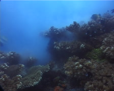 Colonising bushy coral spawning, Pocillopora damicornis, UP10273 Stock Footage
