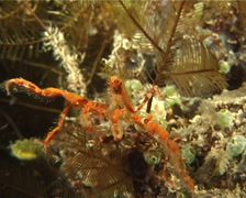 Unidentified orange lump spider crab walking at night, Oncinopus sp. Video Stock Footage
