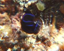 Black and blue swallowtail slug walking, Chelidonura varians, UP10282 Stock Footage