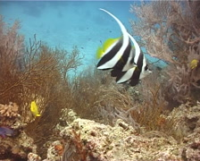 Longfin bannerfish swimming, Heniochus acuminatus, UP10301 Stock Footage