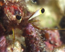 Longeye hermit crab feeding, Dardanus lagopodes, UP10321 Stock Footage