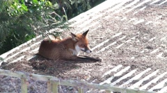 Urban fox on waking up and scratching itself in a West London garden. Stock Footage