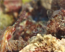 Orange-spotted pipefish, Corythoichthys ocellatus, UP10325 Stock Footage