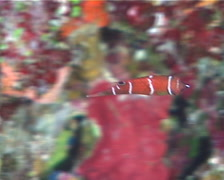 Tanaka's wrasse swimming, Wetmorella tanakai, UP10347 Stock Footage