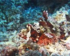 Poss's scorpionfish walking, Scorpaenopsis possi, UP10367 Stock Footage