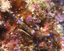 Fine lined slug walking, Nembrotha lineolata, UP10380 Stock Footage