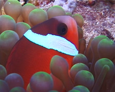 Fiji tomato clownfish hiding, Amphiprion barberi, UP10373 Stock Footage