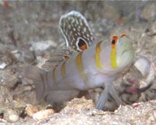 Randalls shrimpgoby hovering, Amblyeleotris randalli, UP10391 Stock Footage