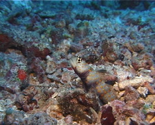 Spotted shrimpgoby, Amblyeleotris guttata, UP10364 Stock Footage