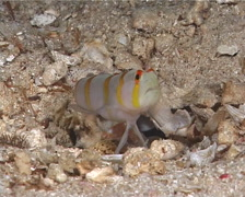 Yellow goby shrimp swimming, Alpheus ochrostriatus, UP10399 Stock Footage