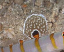 Randalls shrimpgoby, Amblyeleotris randalli, UP10401 Stock Footage