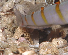 Yellow goby shrimp, Alpheus ochrostriatus, UP10396 Stock Footage