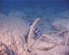 Saddled snake eel under a wharf at dusk, Leiuranus semicinctus, UP10411 Stock Footage