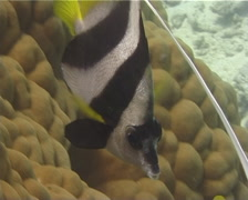 Longfin bannerfish hovering, Heniochus acuminatus, UP10434 Stock Footage