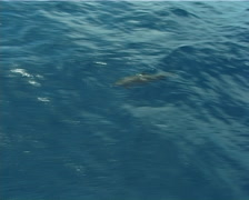 Pacific bottlenose dolphin, Tursiops truncatus, UP10438 Stock Footage
