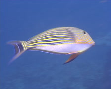 Lined surgeonfish swimming, Acanthurus lineatus, UP10437 Stock Footage