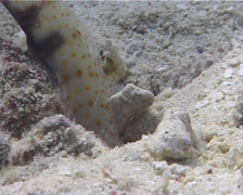 Spotted shrimpgoby, Amblyeleotris guttata, UP10449 Stock Footage