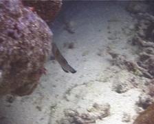 Juvenile Clown coris swimming, Coris aygula, UP10461 Stock Footage